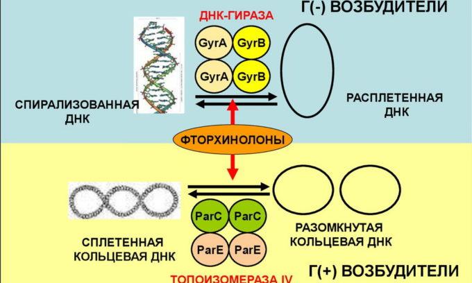 Механизм действия фторхинолонов при лечении цистита