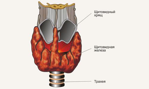Щитовидная железа, вырабатывая гормоны, необходимые для стабильной регуляции обмена веществ, выполняет целый комплекс важнейших функций
