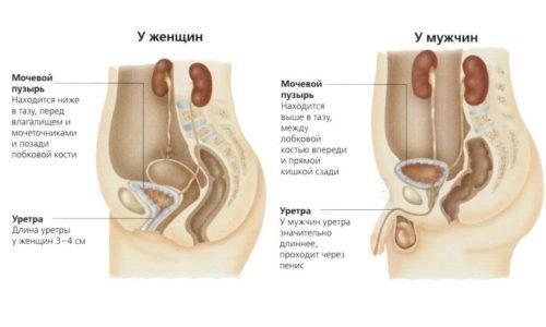 Женщины сталкиваются с циститом чаще мужчин, ввиду особенностей женского организма: мочеиспускательный канал у них короче и шире, поэтому инфекция по нему доходит до мочевого пузыря быстрее