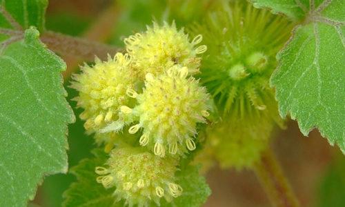 Одним из замечательных средств для лечения зоба, гипотериоза является отвар травы дурнушника