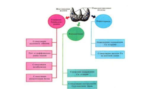 Причины и симптомы микседемы напрямую зависят от состояния щитовидной железы, так как заболевание характеризуется недостаточной выработкой ею гормона