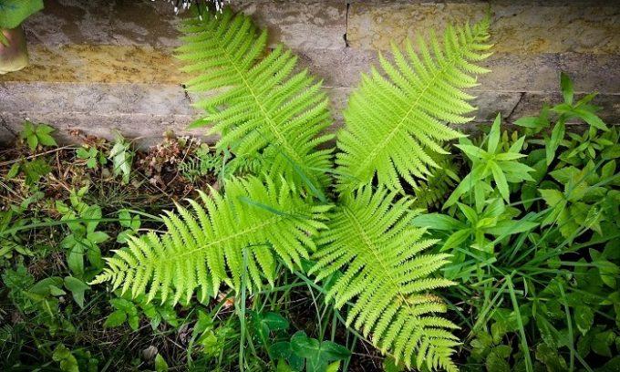 Хорошо помогают справиться в варикозом примочки из листьев папоротника