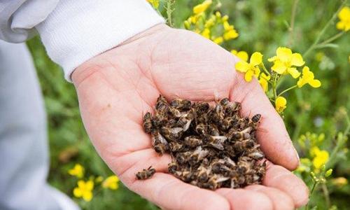 Нарушения, связанные с пониженными функциями щитовидной железы можно вылечить пчелиным подмором