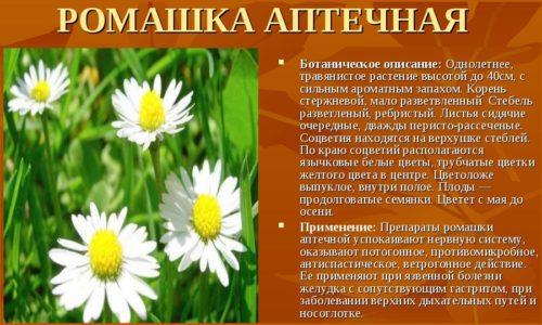 Ромашка лекарственная – доступное и часто применяемое растение в области гинекологии. Она оказывает противовоспалительное, антисептическое, успокаивающее и обезболивающее действие