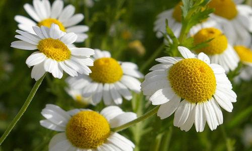 Из цветков ромашки и травы хвоща делают чай