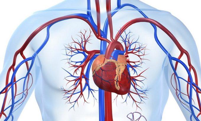 Кроме этого, гормоны контролируют роботу сердечнососудистой системы