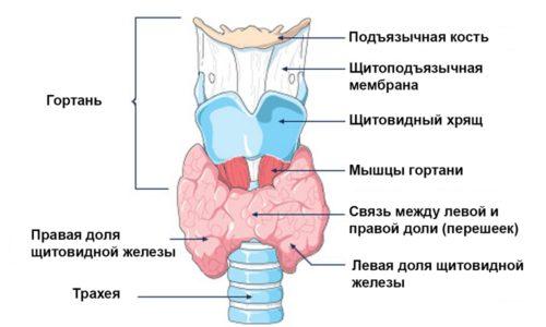 Гиперплазия левой или правой доли внешне мало различается, но у каждой из них есть связь с женскими молочными железами